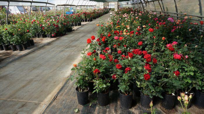 Купить оптом в воронеже саженцы роз